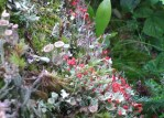 Cup lichen with coral pin flowers close up