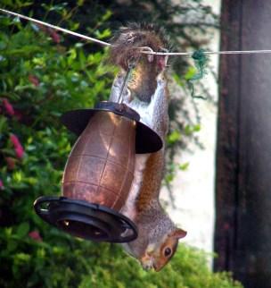 grey-squirrel-hanging-upside-down-on-bird-peanut-feeder