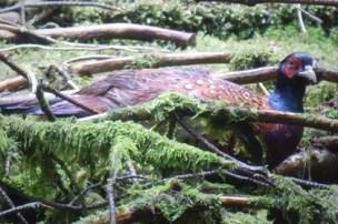 male pheasant amngst sticks