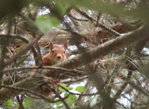 red-squirrel-looking-down-at-camera-from-pine-tree
