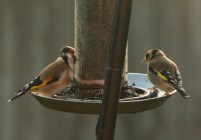 goldfinches-on-feeder