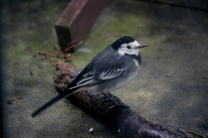 pied-wagtail on stick on patio
