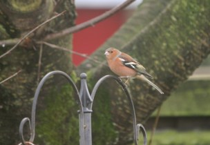 chaffinch-on-bird-feeder in front of tree trunk