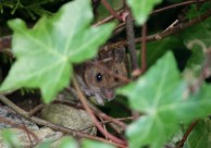 wood-mouse-in-ivy-leaves-2