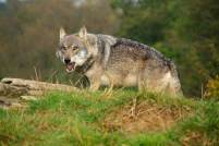 Wolf with open mouth on mound near to stone