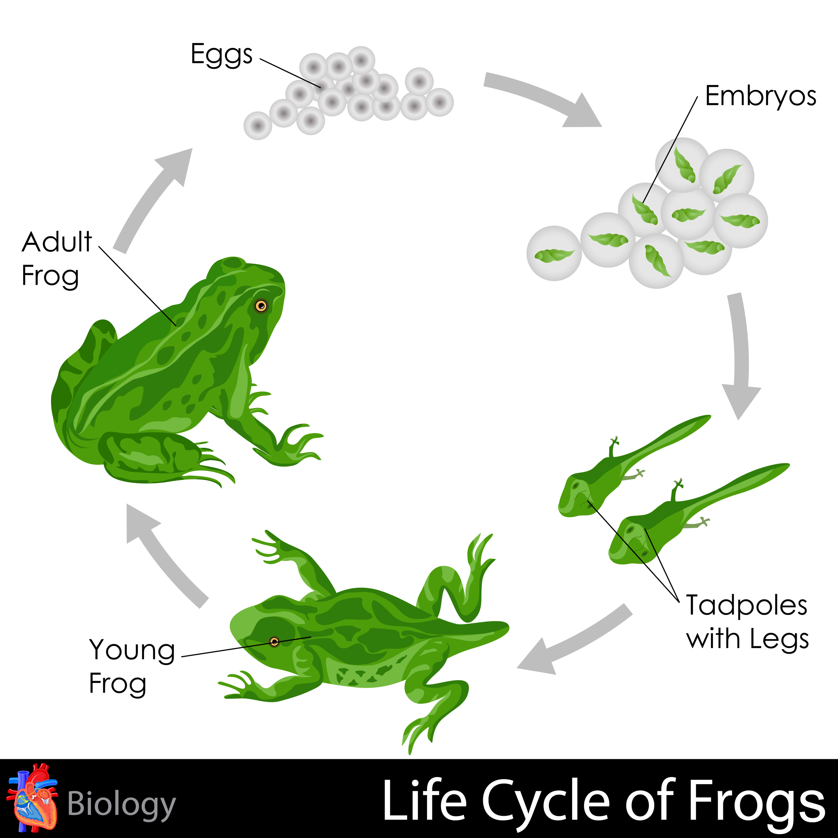 Worksheet Life Cycle Of A Frog Worksheet Grass Fedjp Worksheet Study Site