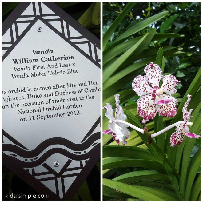 Duke orchid