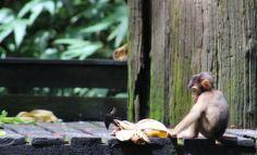 Cute random monkey baby stealing left over food