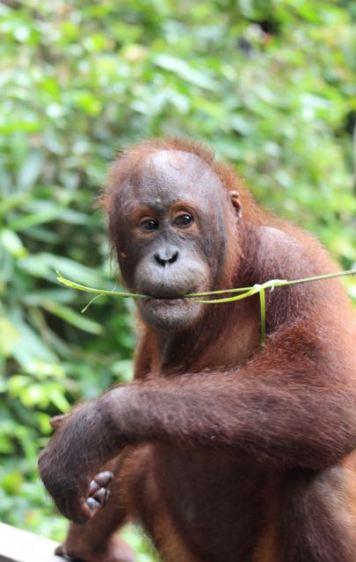Not a full grown orang utan