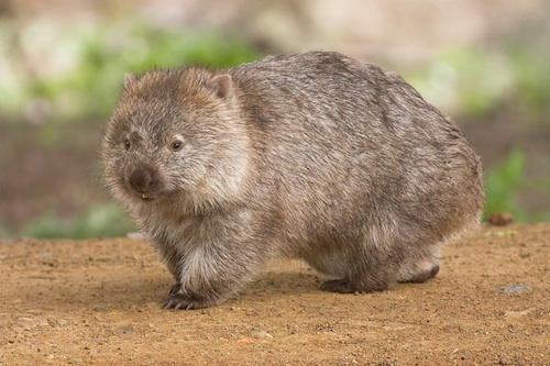 Wombat Australia- Kid World Citizen