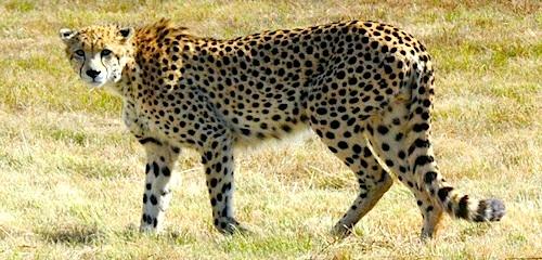 Cheetah South Africa- Kid World Citizen