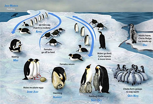 Learn about the PENGUIN LIFECYCLE- Kid World Citizen