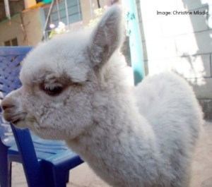 Baby Llama Facts- Kid World Citizen