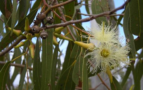 Eucalyptus- Kid World Citizen