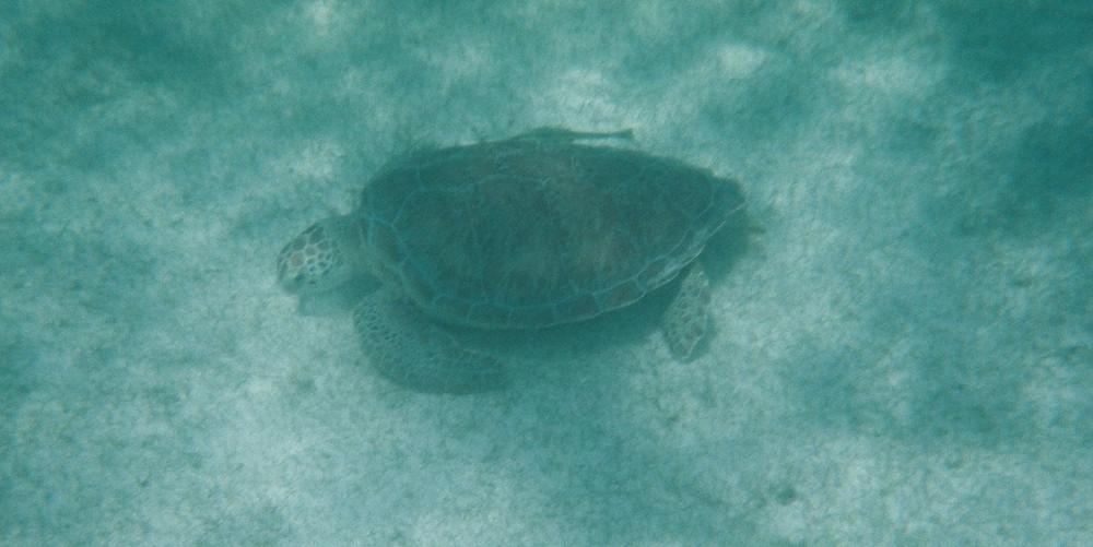 Sea Turtles Akumal Snorkling- Kid World Citizen