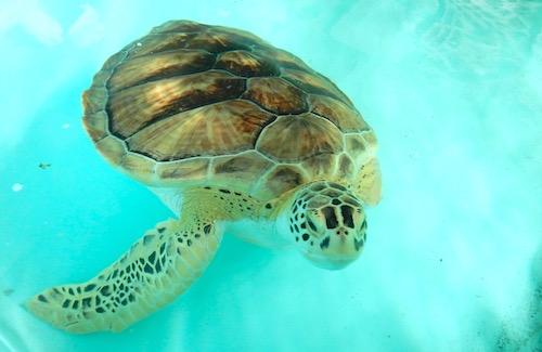 Sea Turtles South Padre Island- Kid World Citizen
