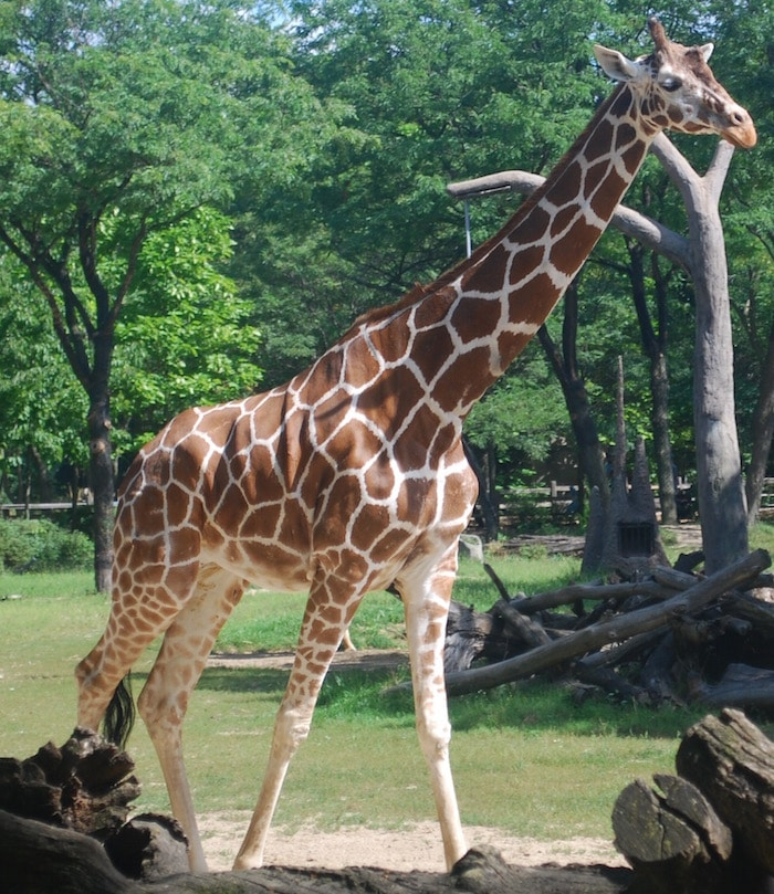 Learn about Giraffes Kids- Kid World Citizen