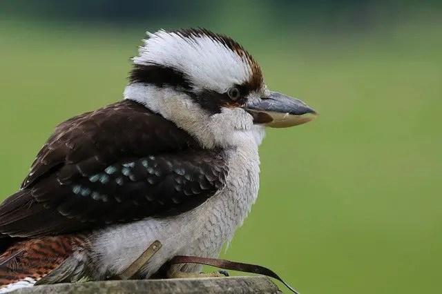 kookaburra birds of Australia