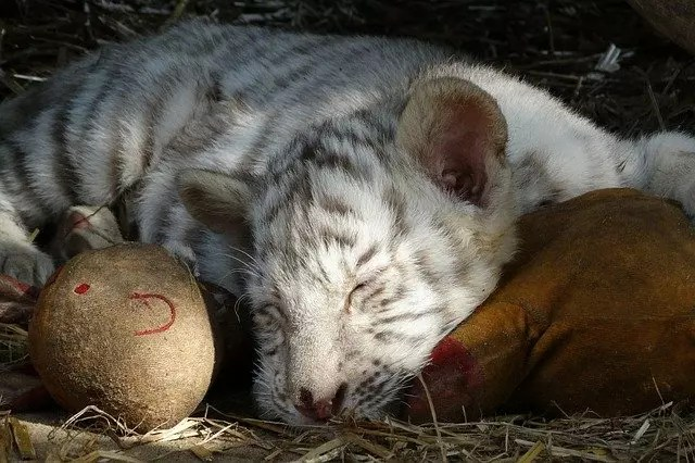 Baby White Tiger - White Tiger Cubs