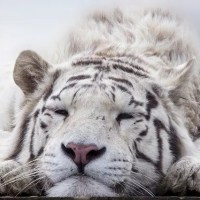 White Tiger Facts for Kids - All About White Tiger
