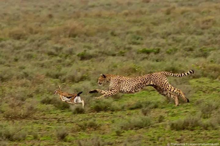 What do Cheetahs Eat - Cheetah Diet