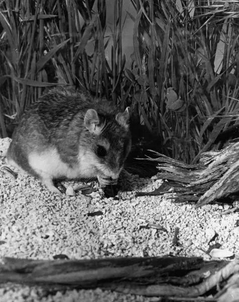Grasshopper mice - Barn Owl Diet