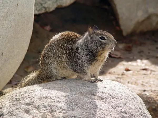Ground Squirrels