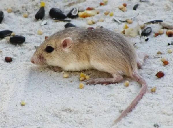 Pocket mice - What do Barn Owls Eat