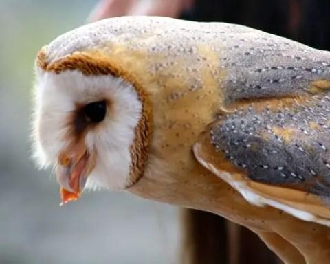 what barn owls eat - barn owl diet