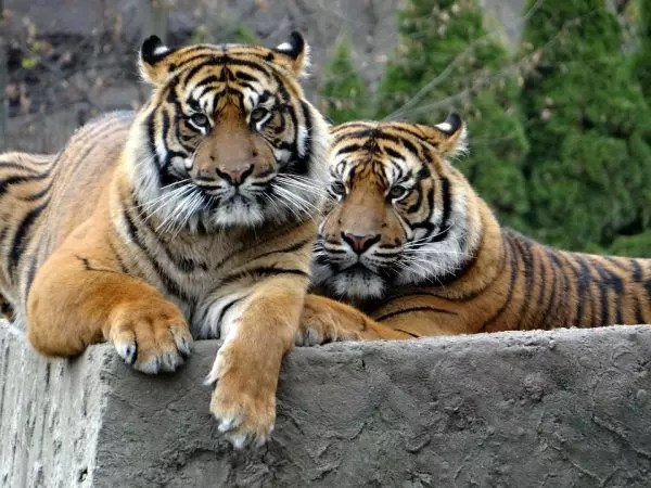 How Long Do Sumatran Tigers Live