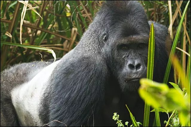 Eastern lowland gorilla facts