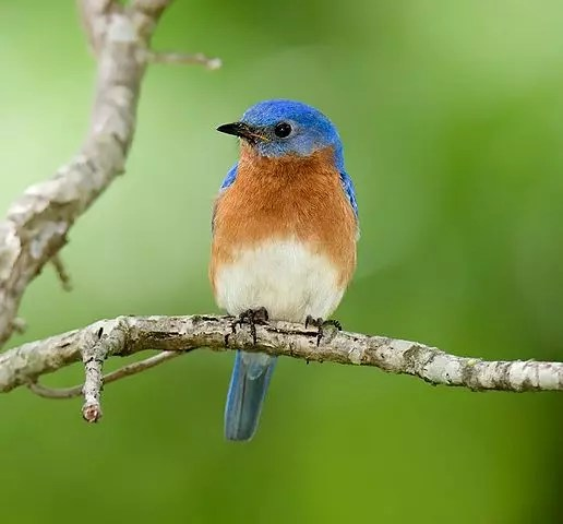 Blue Bird. New York Facts