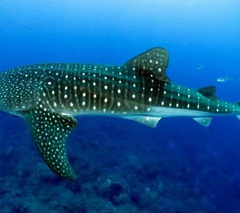 Whale Shark Facts for Kids