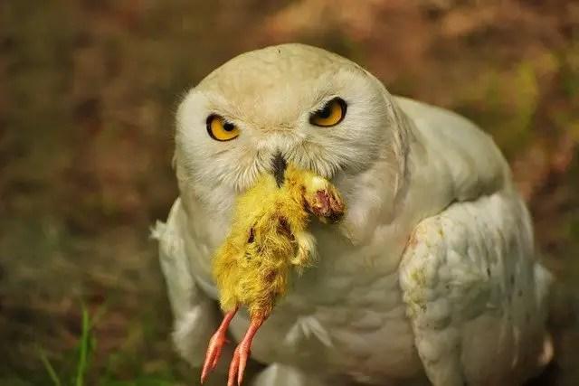 Owls diet