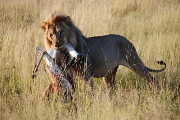 Lions Diet