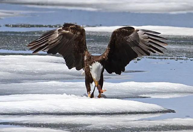 Bald Eagle Diet