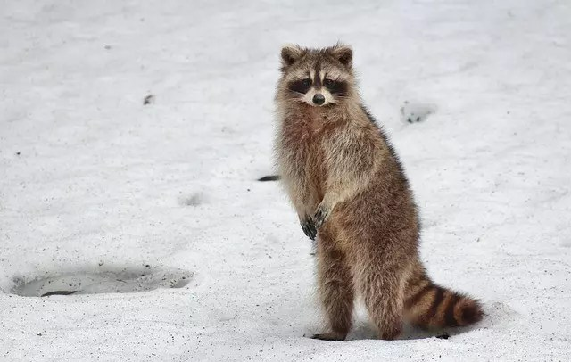 Racoon Facts
