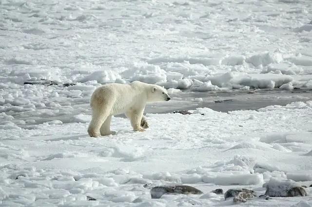 Where Do Polar Bears Live