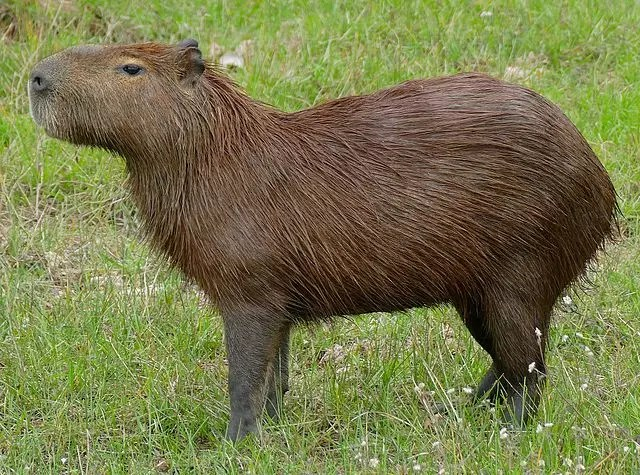 What Do Jaguars Eat - Capybara