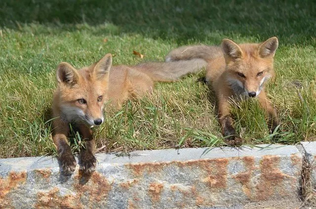 Do Kit Foxes Eat Cats