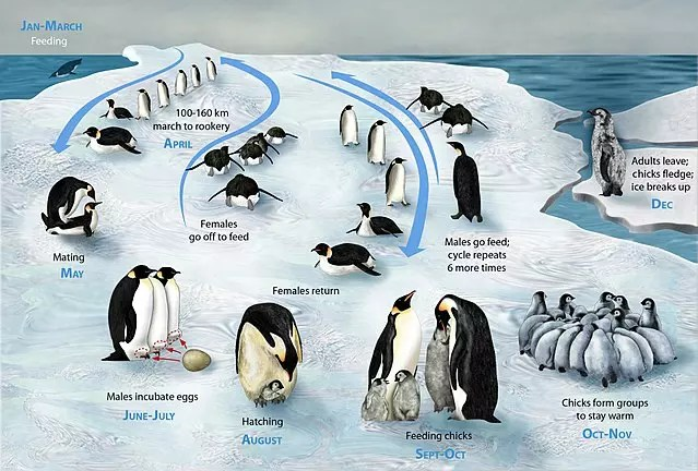 Emperor Penguin lifecycle