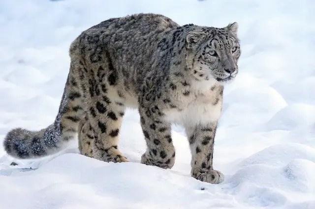 Snow Leopard Facts