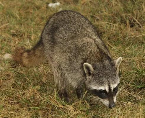 The Cozumel raccoon (Procyon pygmaeus)