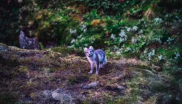 Arctic Fox Facts Habitat