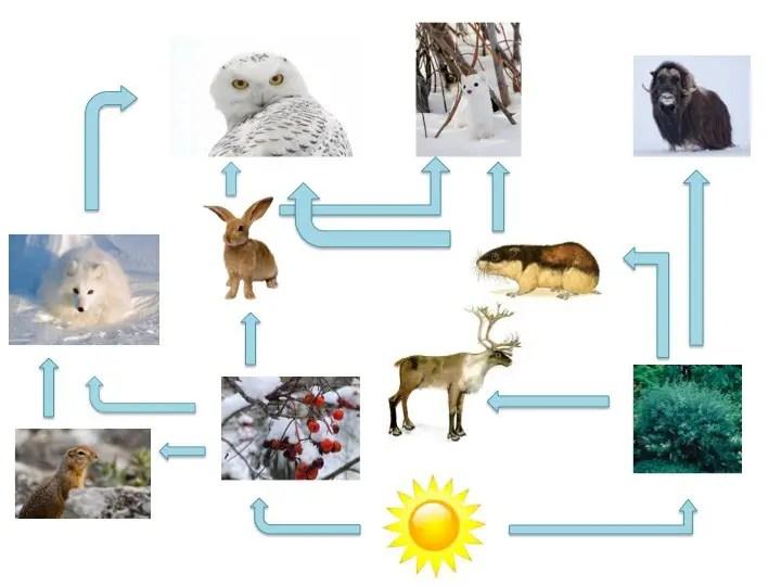 Arctic Fox Food Web