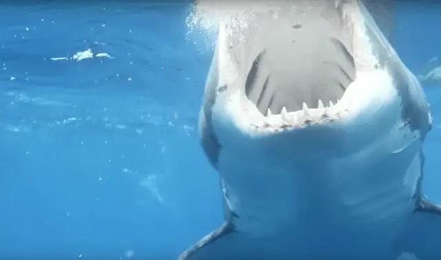 Great White Shark Teeth