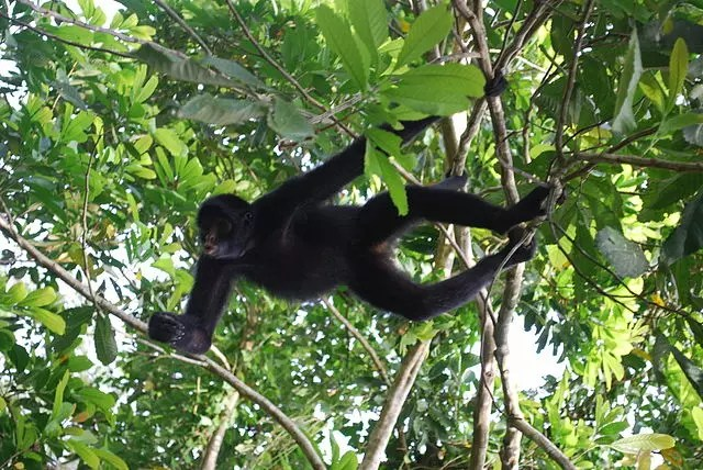 Spider Monkey Habitat