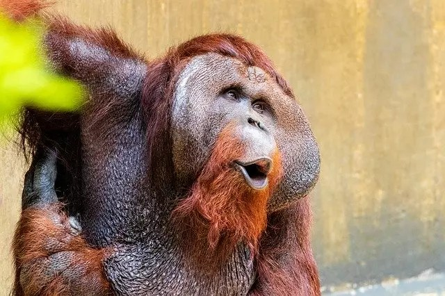 All About Orangutans