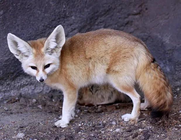 Fennec Fox Facts For Kids - Desert Fox Facts