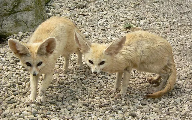 Fennec Fox Pair